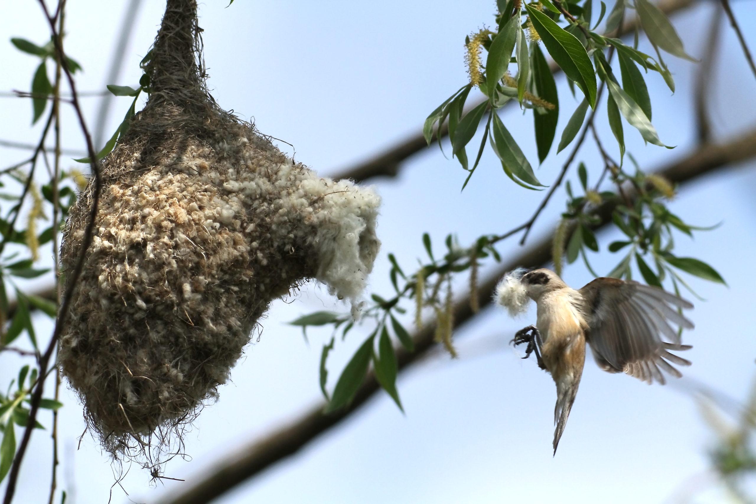 Beutelmeise beim Nestbau © kranich-naturfoto.de