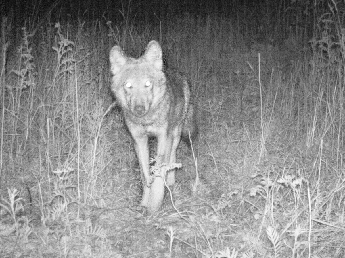 Wolf © Ulrich Fiedler