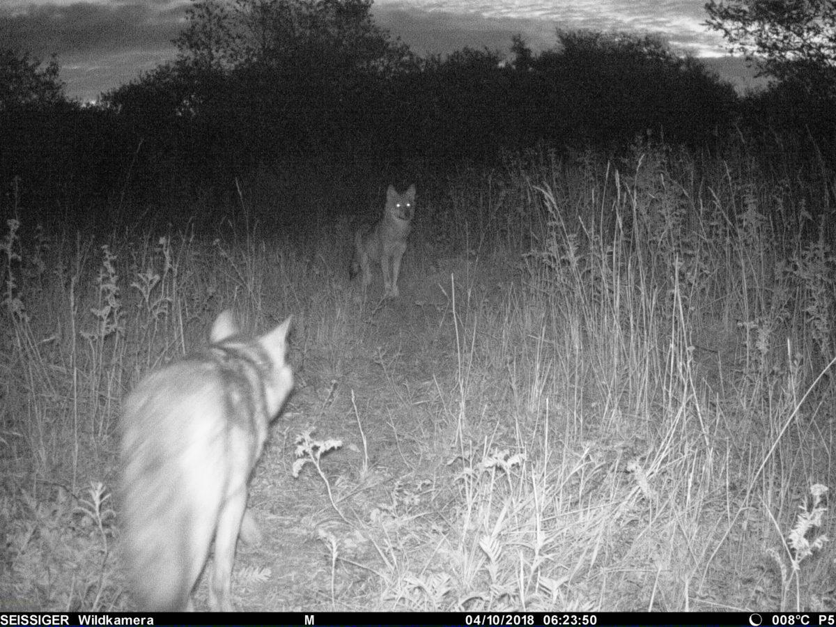 Wölfe im NSG Werbeliner See © Fiedler