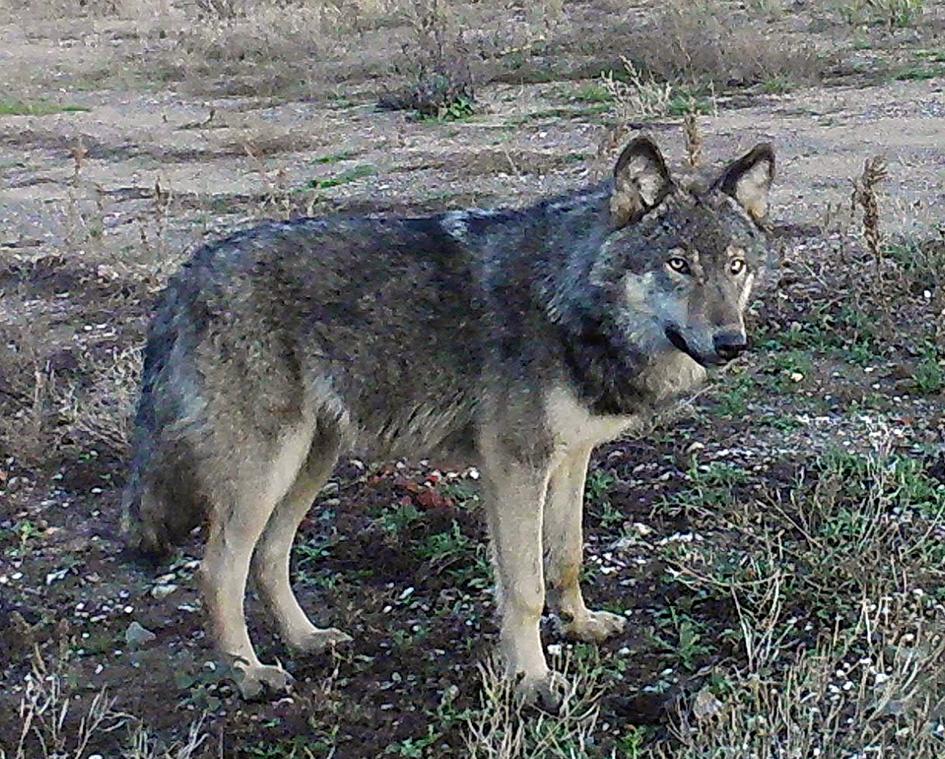 Wolf © Jan Schöne