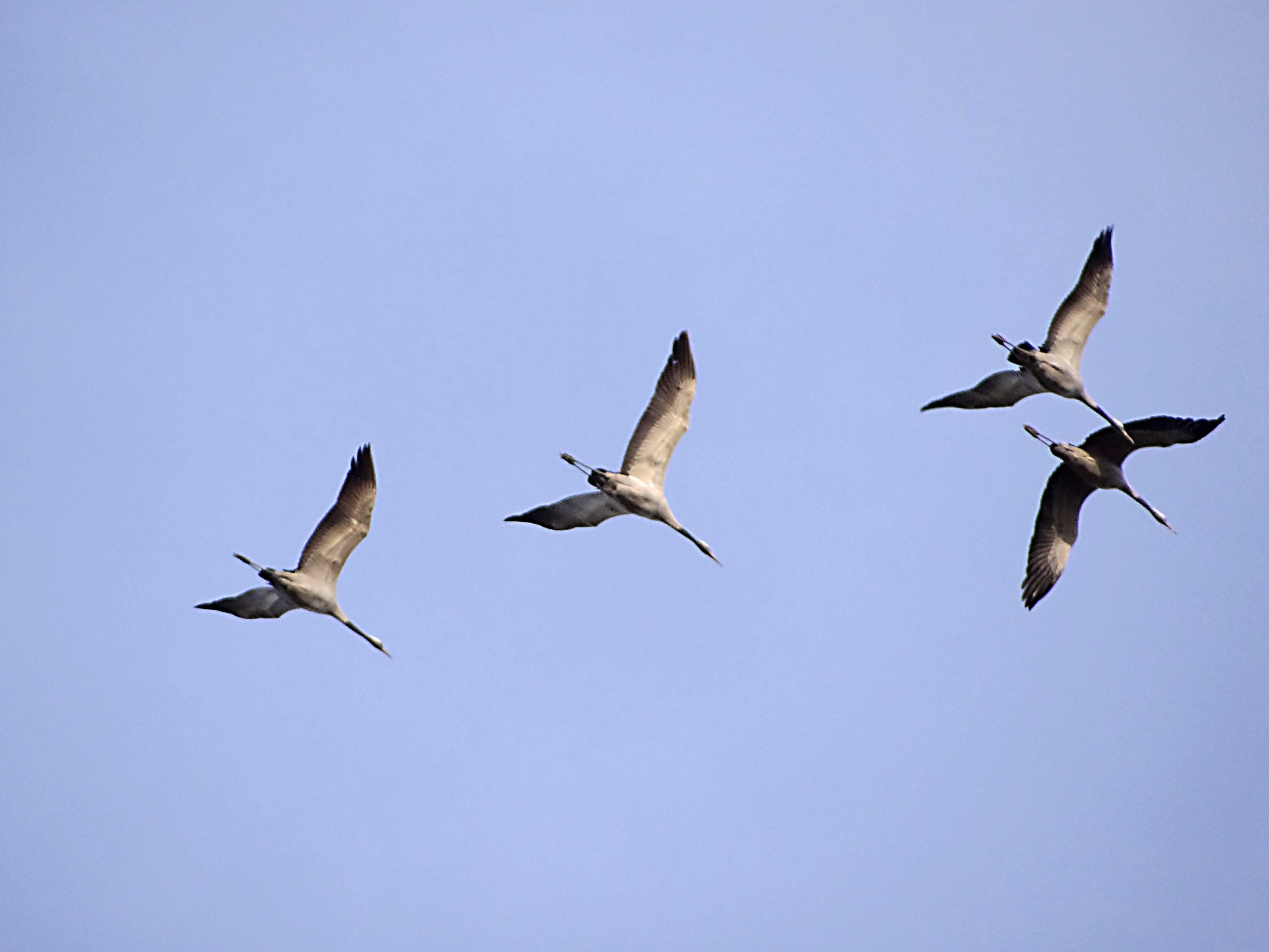 Vogelzug Kraniche © Seidel